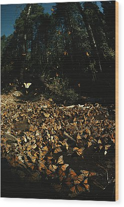 Monarch Butterflies Draw Water, A Sign Wood Print by Bianca Lavies
