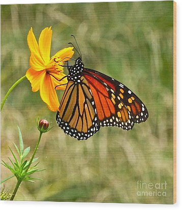 Monarch Butterfly And Yellow Cosmos Wood Print by Byron Varvarigos