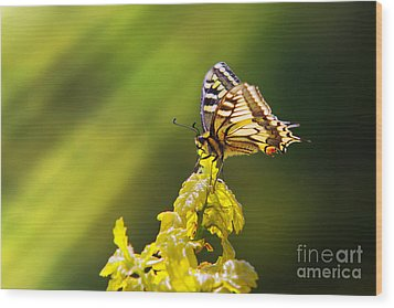 Monarch Butterfly Wood Print by Carlos Caetano