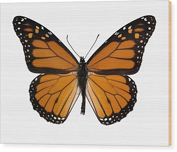 Monarch Butterfly Wood Print by Dr Keith Wheeler