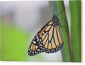 Monarch Butterfly On Leaf Wood Print by Pndtphoto