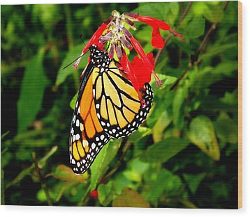 Wood Print featuring the photograph Monarch Butterfly On Red Flowers by Jodi Terracina