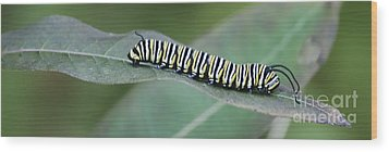 Monarch Caterpillar Wood Print by Randy Bodkins