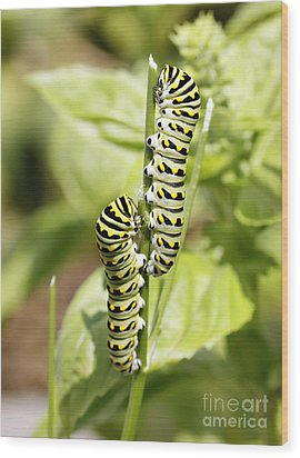 Monarch Caterpillars Wood Print by Denise Pohl