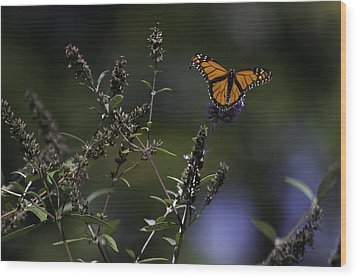 Monarch In Morning Light Wood Print by Rob Travis