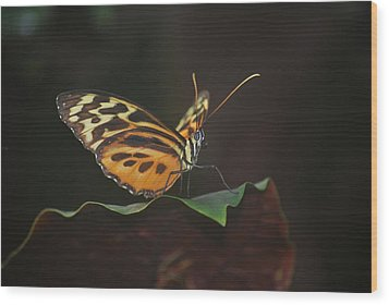 Monarch Perch Wood Print by Amee Cave