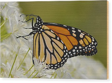 Monarch  Wood Print by Rodney Campbell