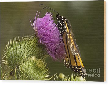 Monarch Thistle Munching Wood Print by Darleen Stry