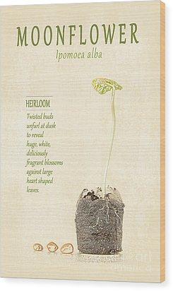 Moonflower Vine Seedling  Wood Print by Anne Kitzman