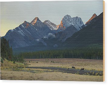 Moose Grazing At Sunset With Mountains Wood Print by Philippe Widling