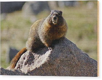 Morning Marmot Wood Print by Colleen Coccia