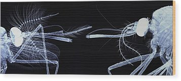 Mosquito Heads, Light Micrograph Wood Print by Steve Gschmeissner