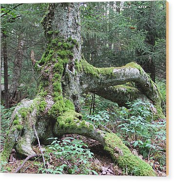 Moss Covered Tree Roots Wood Print