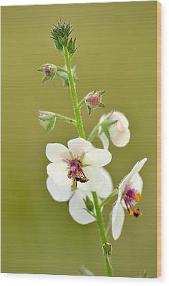 Wood Print featuring the photograph Moth Mullein by JD Grimes