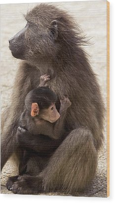 Mother And Baby Chacma Baboon Wood Print by Bob Gibbons