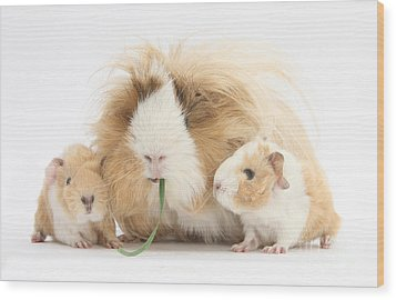 Mother Guinea Pig And Baby Guinea Wood Print by Mark Taylor