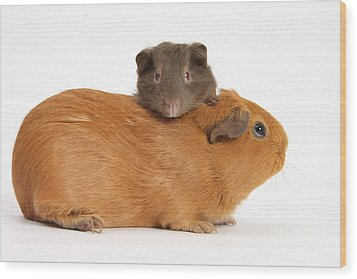 Mother Guinea Pig With Baby Guinea Pig Wood Print by Mark Taylor