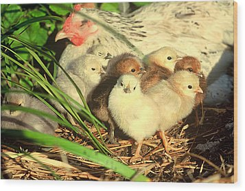 Mother Hen And Young Wood Print