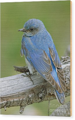 Mountain Bluebird Wood Print by Doug Herr