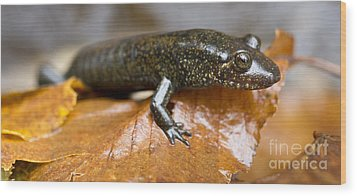Mountain Dusky Salamander Wood Print