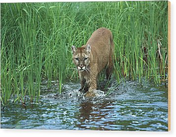 Mountain Lion Puma Concolor Wading Wood Print by Konrad Wothe