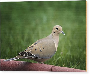 Mourning Dove Wood Print by Bill Tiepelman