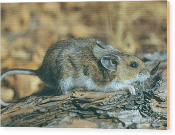 Mouse On A Log Wood Print by Photo Researchers, Inc.