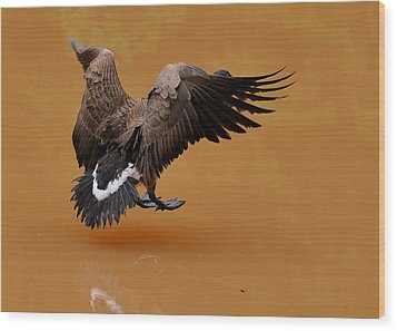 Muddy Pond Hover Landing Goose  - C4558d  Wood Print by Paul Lyndon Phillips