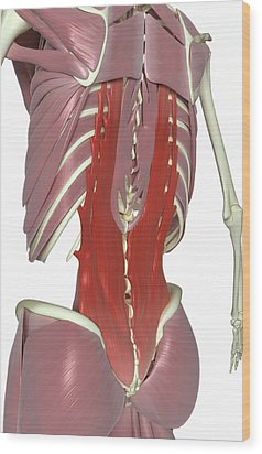 Muscles Of The Back Wood Print by MedicalRF.com