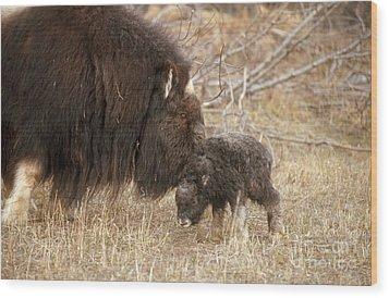 Musk Ox Cow And New Calf Wood Print by Joseph Rychetnik
