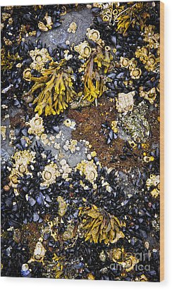 Mussels And Barnacles At Low Tide Wood Print by Elena Elisseeva