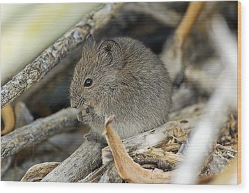 Namaqua Rock Mouse Wood Print by Peter Chadwick