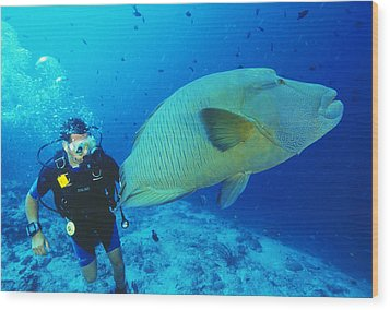 Napoleon Wrasse And Diver Wood Print by Matthew Oldfield