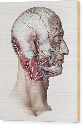 Neck And Facial Nerves Wood Print by Mehau Kulyk