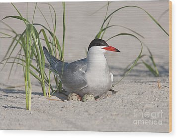 Nesting Common Tern Wood Print by Clarence Holmes