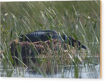 Nesting Loon Wood Print by Brent L Ander