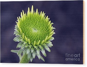Wood Print featuring the photograph New Daisy by Denise Pohl