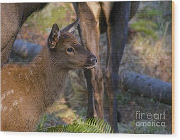 Newborn Elk Wood Print by Sean Griffin