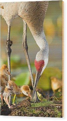 Newborn Sandhill Cranes Wood Print by Scott Helfrich