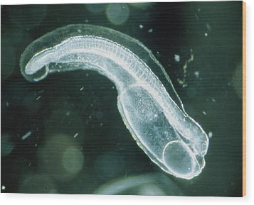 Newly-hatched Glass Eel Embryo, Anguilla Japonica Wood Print by Sinclair Stammers