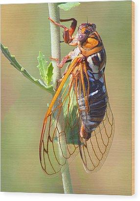 Noisy Cicada Wood Print by Shane Bechler