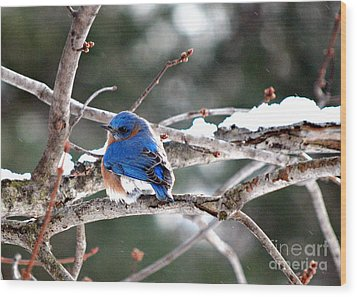 Northern Bluebird Wood Print by Lila Fisher-Wenzel