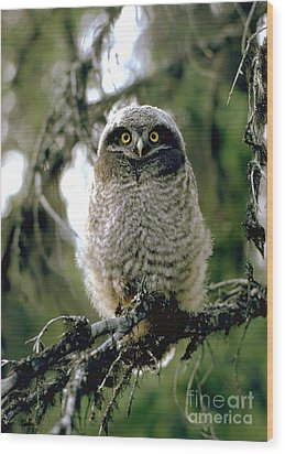 Northern Hawk Owl Fledgeling Wood Print by Doug Herr