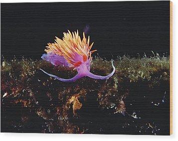 Nudibranch Brightly Colored Arctic Ocean Wood Print by Flip Nicklin