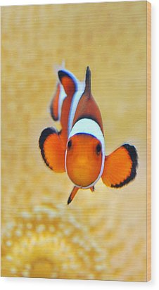 Ocellaris Clownfish Wood Print by Puzzles Shum