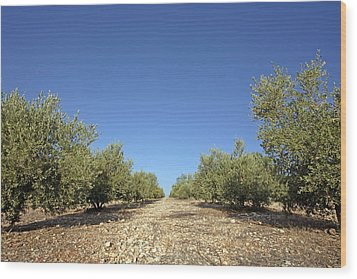 Olive Grove Wood Print by Carlos Dominguez