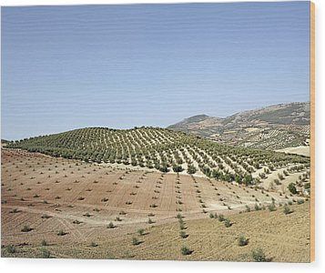 Olive Groves Wood Print by Carlos Dominguez