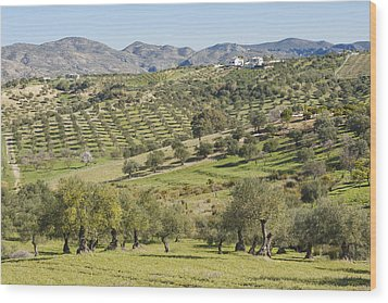 Olive Groves, Southern Spain. Wood Print by Ken Welsh