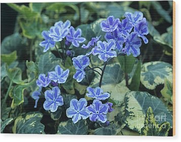 Omphalodes 'starry Eyes' Flowers Wood Print by Archie Young