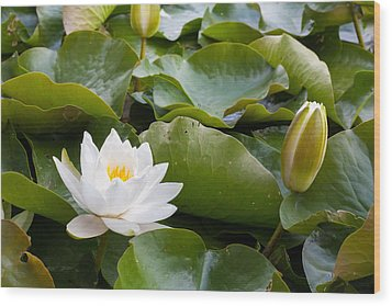 Open And Closed Water Lily Wood Print by Semmick Photo